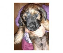 9 weeks old Border Terrier puppies for sale
