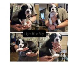 4 Olde english bulldogge puppies for sale
