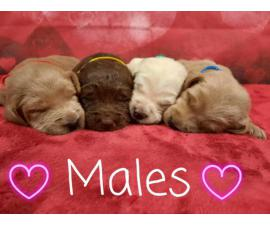 4 male 3 female labradoodles