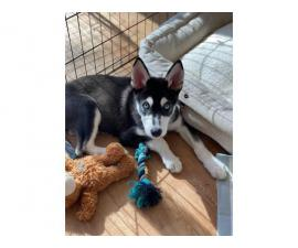 Male Husky Puppy in need of new home