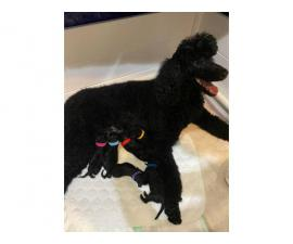 Pure bred Male Standard Poodle puppy