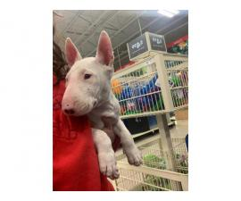 Fullbreed bull terrier puppy needing a new home