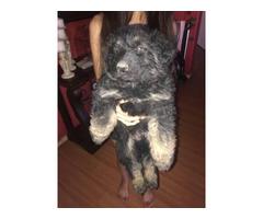 5 German Shepherd puppies available