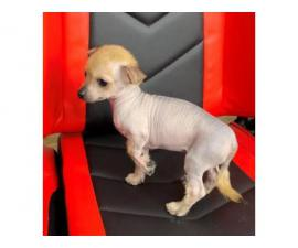 2 months old Chinese crested puppies for sale