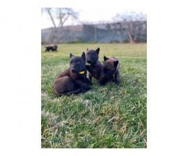 7 AKC Belgian Malinois puppies for sale