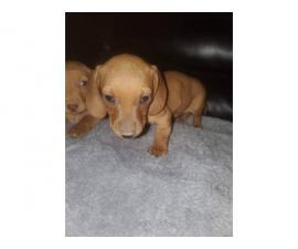 Short haired mini dachshund puppies
