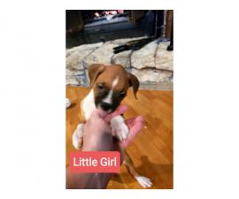 5 Beautiful Boxer puppies rehoming