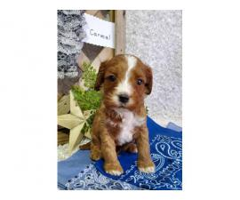 7 beautiful Cavapoo puppies available