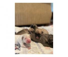 AKC Anatolian Sheperd puppies