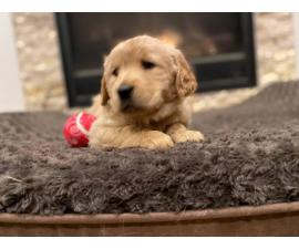6 Purebred Golden Retriever Puppies