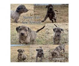 Catahoula puppies 5 females and 1 male