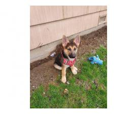 10 week old female GSD puppy for sale