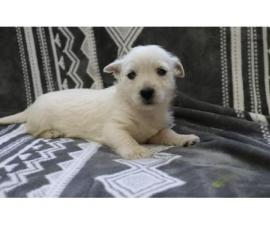Milly /holly are just as adorable westie puppies