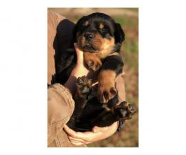 5 AKC Rottweiler Puppies for sale