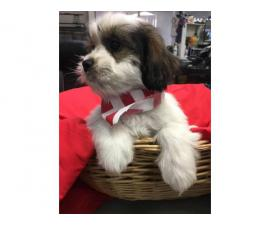 Shichon puppies 5 males left