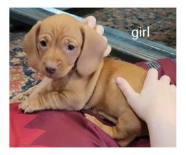 6 Dachshund puppies for Sale