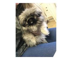 Pekingese Girl Puppy