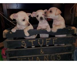 3 Chiweenie puppies ready for forever homes