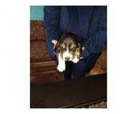 AKC Basset Hound pups 4 males and 3 females