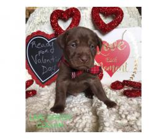 9 beautiful Chocolate Lab puppies