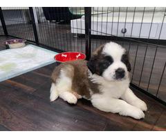 6 fullblooded Saint bernard puppies for sale