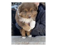 Red tri mini Aussie Puppies for sale