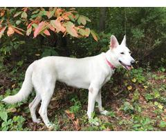 Beautiful AKC white German Shepherd puppies for sale