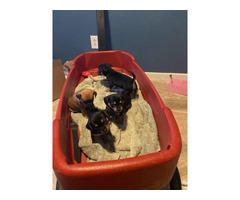 3 female left Chiweenie puppies