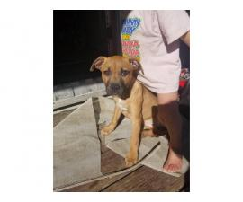 3 month old pitbull needs a forever home