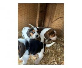 6 weeks old Beagle puppies