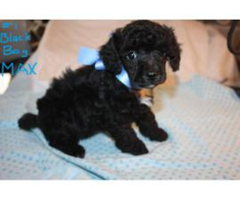 8 weeks old mini Poodle Puppies are ready for loving homes