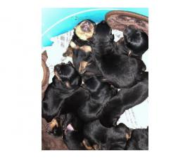 Litter of 8 German Rottweiler puppies for sale