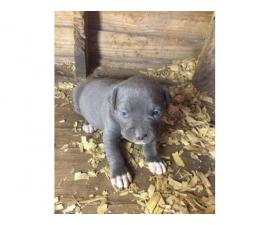 2 blue pitbull puppies needing new home