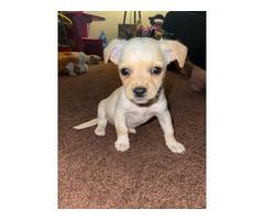 1 boy Chihuahua puppy left
