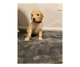 Litter of 9 Goldendoodle Puppies