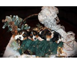1 male and 3 female Beagle puppies for sale