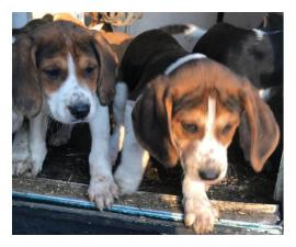 Tricolor little beagles looking for new homes