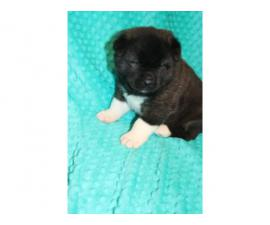 3 Akita puppies for sale