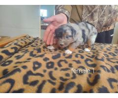 4 Aussie puppies for sale