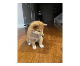 11 weeks old Shiba Inu puppy for sale