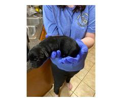 AKC registered black Labrador puppies