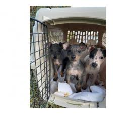 American Hairless Terrier puppies 1 female 2 males