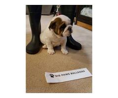 3 AKC registered English Bulldog Available