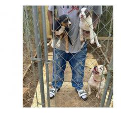Black tri and white chocolate American bully pups for sale