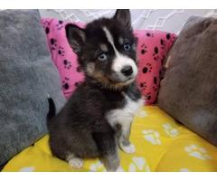 4 Siberian husky puppies needing great homes