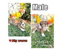 AKC English Bulldog puppies for Sale