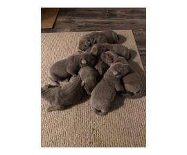 5 AKC Silver Lab puppies for Sale