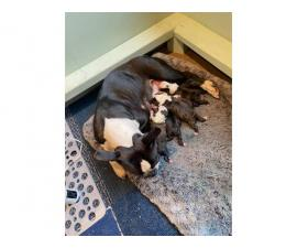 2 females Boston Terrier left