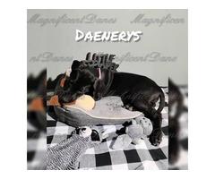 2 AKC Great Dane Puppies