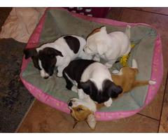 5 Jack Chi Puppies needing good home